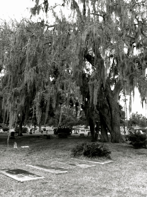 "Jenny says: "" I love trees in general, especially these spanish moss covered ones that are prevalent in Florida. This is also a picture of a tree in Greenwood Cemetery (the cemetery Frenchie visits often in Death, Dickinson, and the Demented Life of Frenchie Garcia)."""