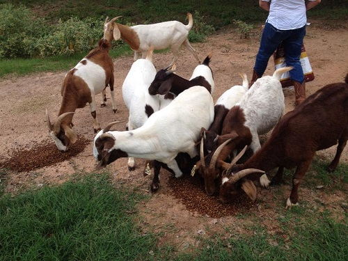 louisiana goats